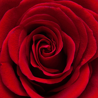 Red Rose - Small Puzzle by Zen