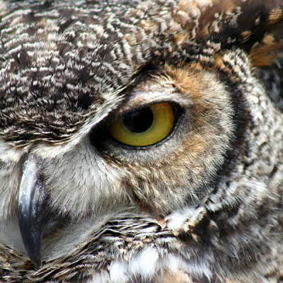 Great Horned Owl-Small Puzzle by Zen